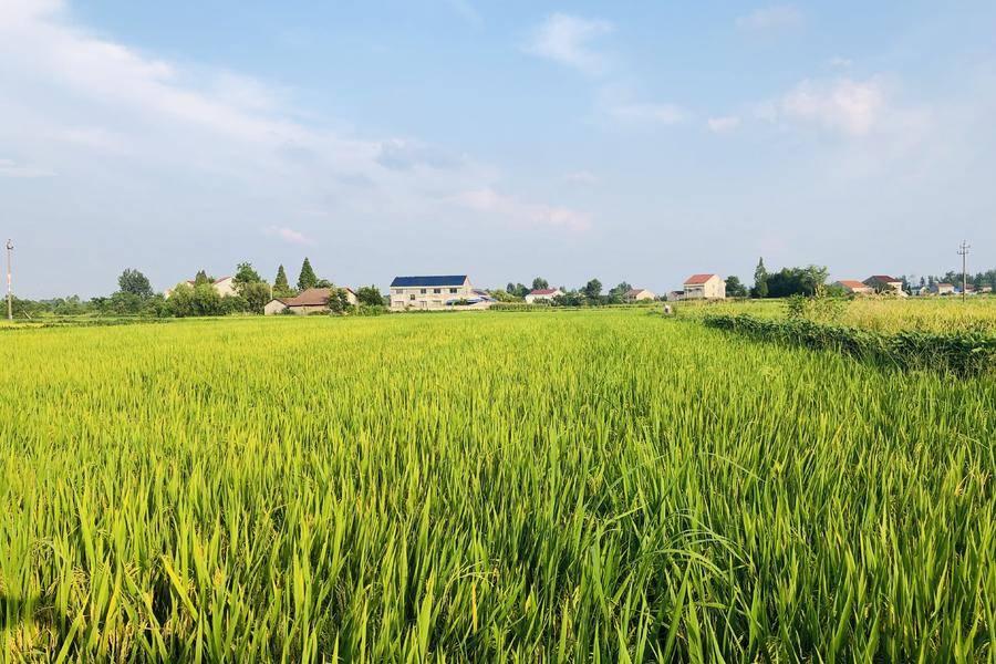 農業,水稻?