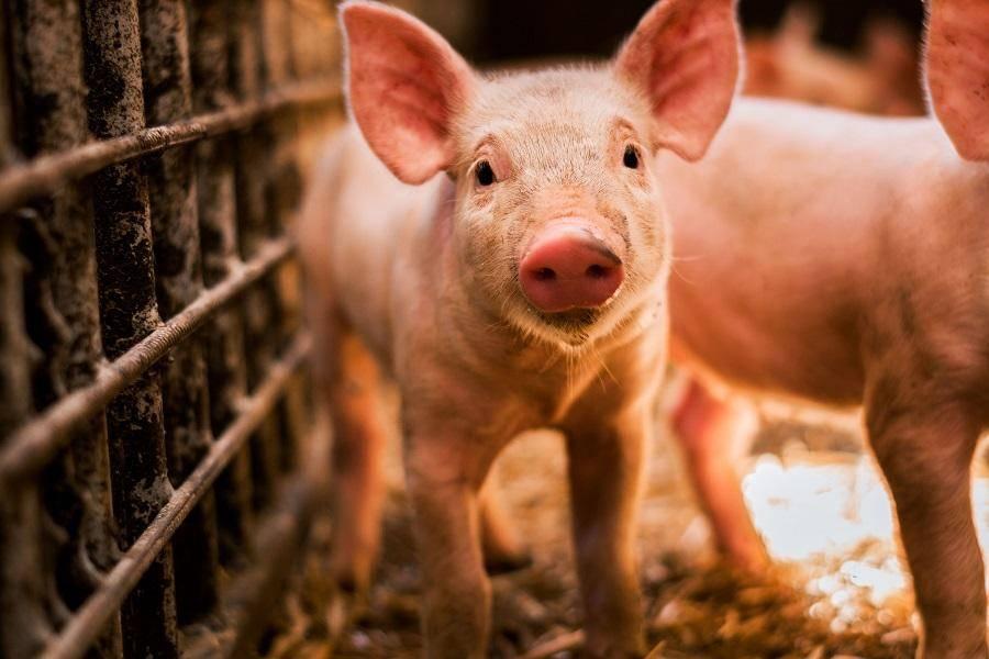 丁磊养的猪现在怎么样了?