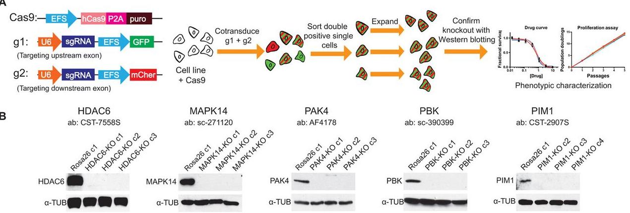 图表4. 靶点基因敲除并未影响癌细胞生长  来源:Sci Trans Med,中康产业资本研究中心