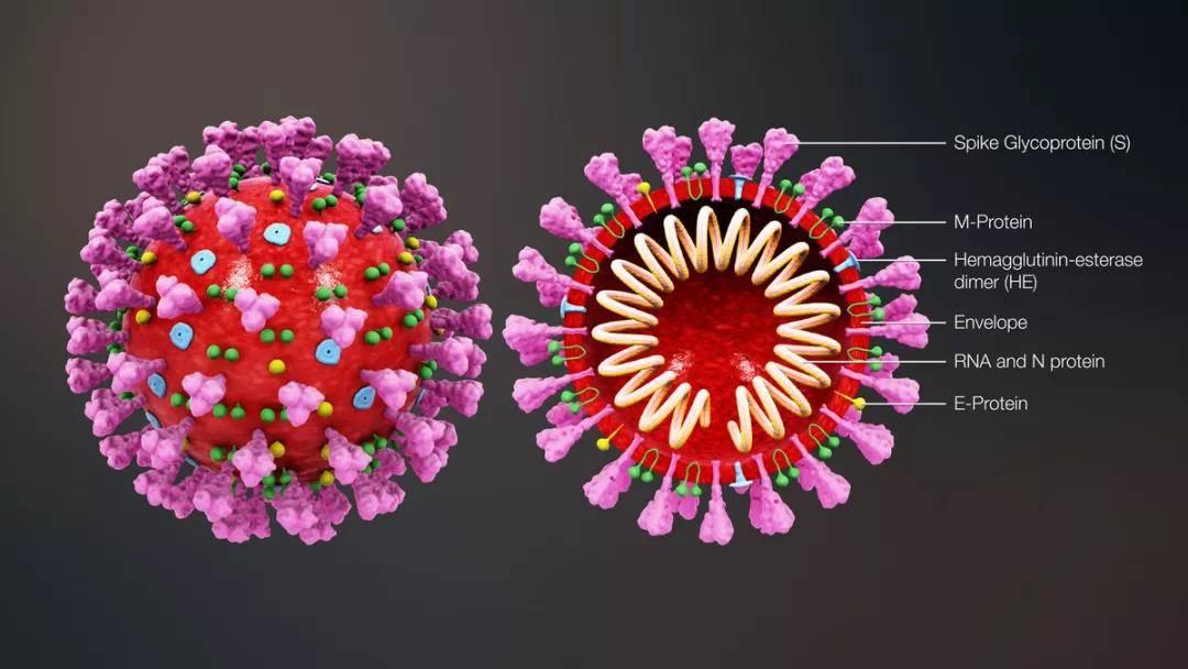 冠状病毒结构(来源:expreview)