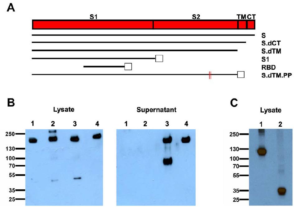 SARS-CoV-2候选DNA疫苗的构建和外达