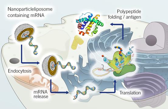 mRNA在细胞内的主要功能,图片来自the-dna-universe.com