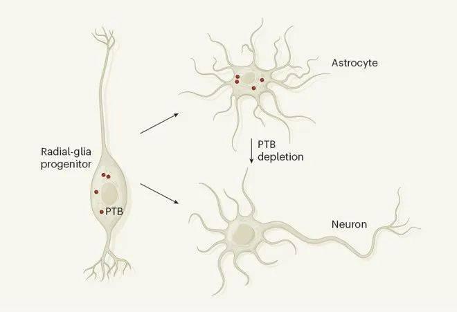 星形胶质细胞向神经元转化示意图。(图片来源:Nature)