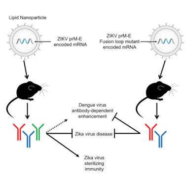 图3. 通过mRNA技术生产寨卡疫苗,在小鼠身上实验,图片来自cell.com