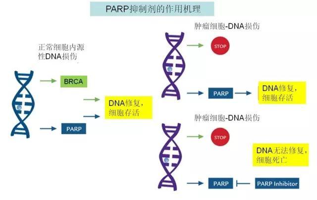 图1 PARP抑制剂作用机理